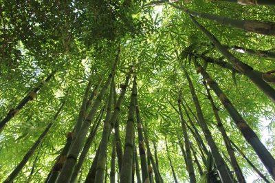 bamboo20062001